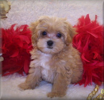 Apricot Teacup Maltipoo puppy Living in Monroe, Louisiana