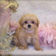 Apricot Teacup Maltipoo Puppy is Sold. Gone to live in Monroe, LA