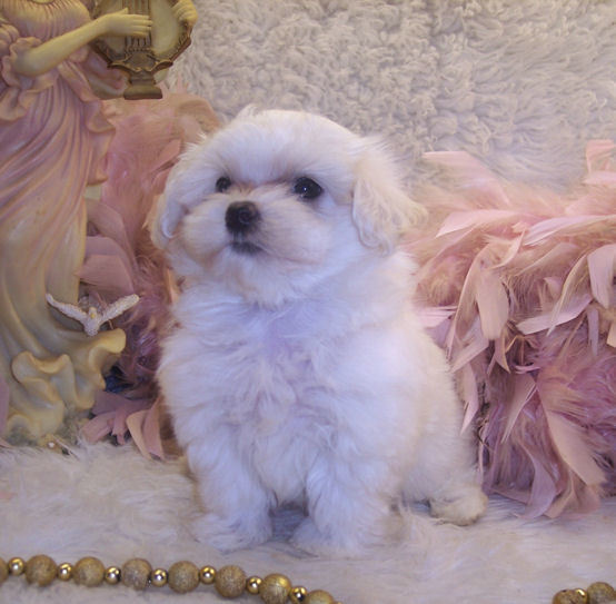 White Maltipoo puppy from Fancypoo4u.]