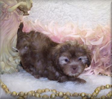 brown teacup shihpoo