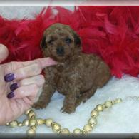 Cinnamon Red Maltipoo puppies for sale