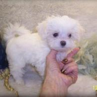 White Teacup Maltipoo puppy