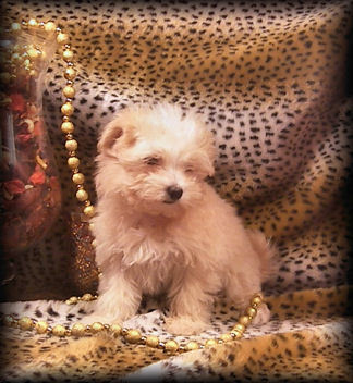 Cream Maltipoo puppy living in Mobile, Alabama