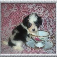 Black-White Teacup Maltipoo puppy