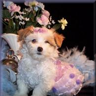 Toy White Toy Maltipoo puppy with Apricot markings