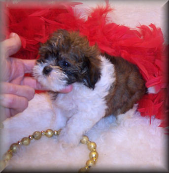 Shih poo puppy will be 6-8 lbs grown