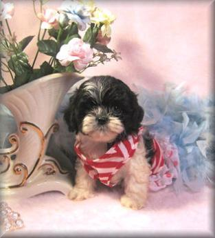 Black-white Shih poo puppy living in Biloxi, MS