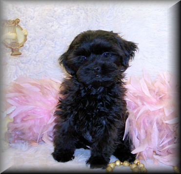 Black female Teacup Shih poo puppy living in Pensacola, FL