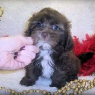 Brown and white Shih poo puppy