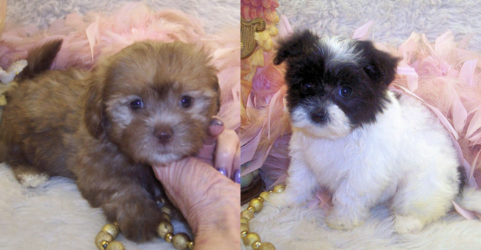 shihpoo and maltipoo puppies