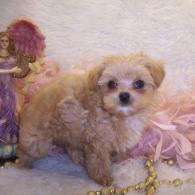 Apricot Teacup Maltipoo puppy living in Monroe Louisiana