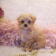 Teacup Apricot Maltipoo puppy~ SOLD
