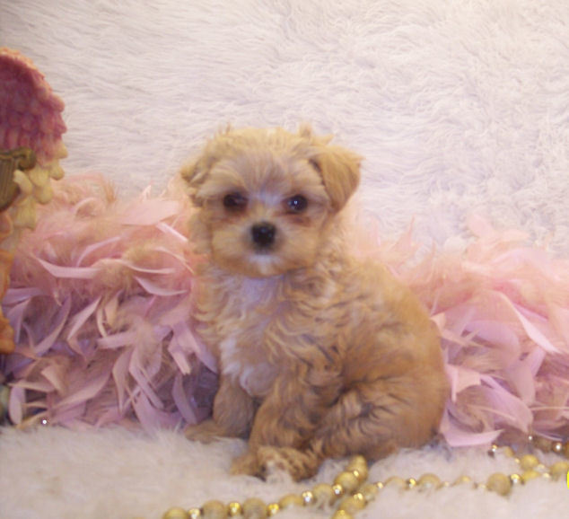 Teacup Apricot Maltipoo puppy~ SOLD]