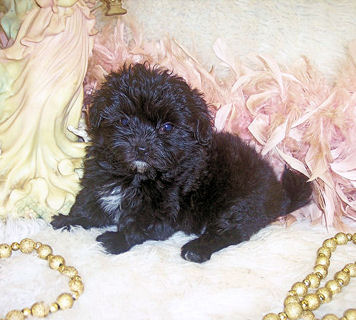 Purebred Poodle Mix Designer Puppies For Sale